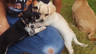 Australian Cattle Dog Mix Dog for adoption in Las Cruces, New Mexico - Belle