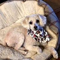 Adopt A Pet :: Manda - Little Rock, AR