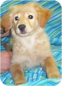 Golden Retriever/Chow Chow Mix Puppy for adoption in Murphysboro, Illinois - Sandy