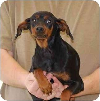 Miniature Pinscher Mix Puppy for adoption in Gallatin, Tennessee - Froggie
