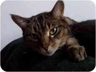 Domestic Shorthair Cat for adoption in Erie, Pennsylvania - Cougar