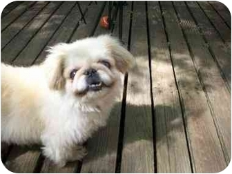 Pekingese Dog for adoption in Richmond, Virginia - Chubby Adopted !!!