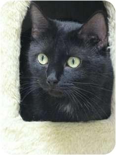 Domestic Shorthair Cat for adoption in Norwalk, Connecticut - Eva