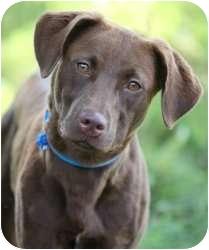 Labrador Retriever Mix Dog for adoption in Olathe, Kansas - Nestle