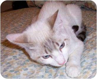 Siamese Kitten for adoption in Schertz, Texas - Moonstruck