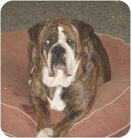English Bulldog Mix Dog for adoption in Sonoma, California - Kera