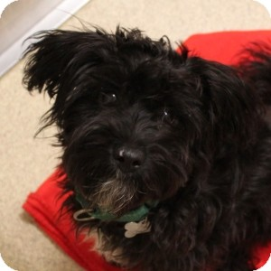 Terrier (Unknown Type, Small) Mix Puppy for adoption in Naperville, Illinois - Corduroy
