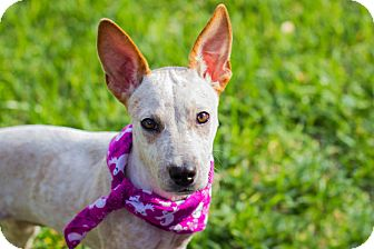 Australian Cattle Dog/Chihuahua Mix Puppy for adoption in Austin, Texas - Apple