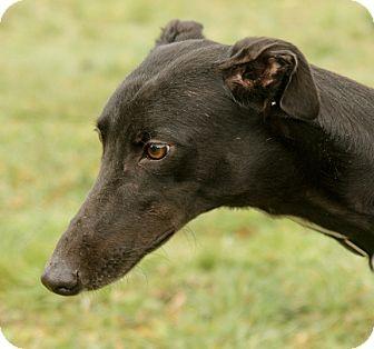 Greyhound Dog for adoption in Portland, Oregon - Nina