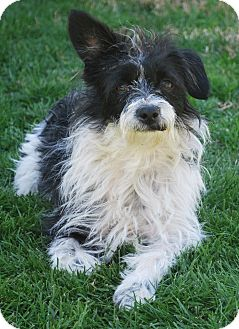 Terrier (Unknown Type, Small) Mix Dog for adoption in Mission Viejo, California - BENNIE