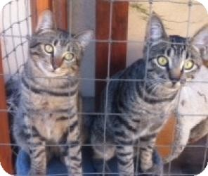 Domestic Shorthair Kitten for adoption in Yorba Linda, California - Weasel and Cheetoh