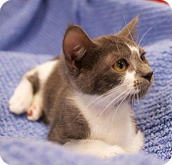American Shorthair Kitten for adoption in Houston, Texas - Frida (bottle baby)