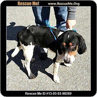 Treeing Walker Coonhound Mix Dog for adoption in Daleville, Alabama - Sookie