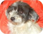 Poodle (Toy or Tea Cup)/Havanese Mix Dog for adoption in Antioch, Illinois - Socrates ADOPTED!!