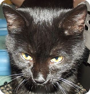 American Shorthair Kitten for adoption in Olmsted Falls, Ohio - Almond
