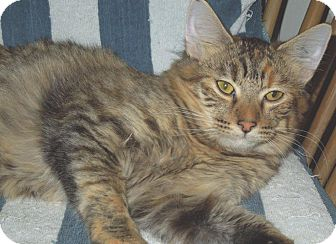 Maine Coon Cat for adoption in Makawao, Hawaii - Foxy Lady