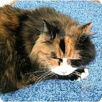 Adopt A Pet :: declawed Sandals - Scottsdale, AZ