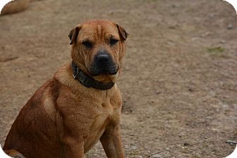Shar Pei/Labrador Retriever Mix Dog for adoption in Grenada, Mississippi - Bruce