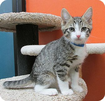 Domestic Shorthair Kitten for adoption in Benbrook, Texas - Crowley