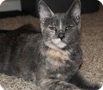 Domestic Shorthair Cat for adoption in Yuba City, California - Adina