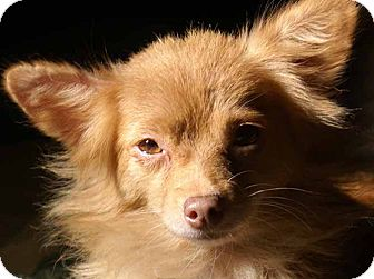 Chihuahua Mix Dog for adoption in Hagerstown, Maryland - Sasha