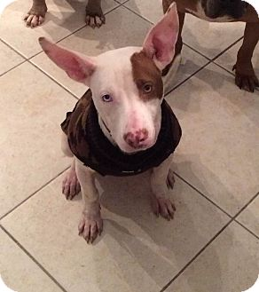 Bull Terrier Mix Dog for adoption in Waterbury, Connecticut - Mary