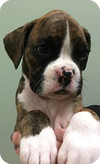 "Boxer Puppy for adoption in Oswego, Illinois - I'M ADPTD ""Saffron"" Hyde :)"