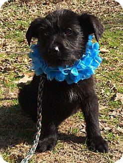 Labrador Retriever/Schnauzer (Standard) Mix Puppy for adoption in Germantown, Tennessee - Toodles