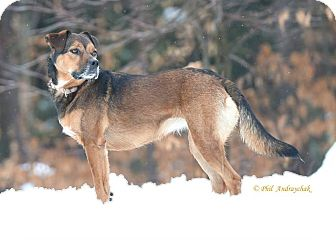 German Shepherd Dog Mix Dog for adoption in Westminster, Maryland - Jill
