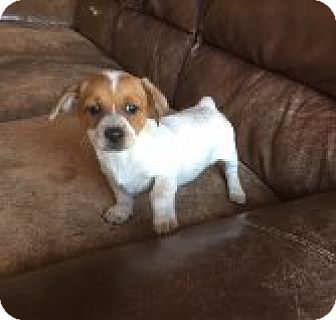 Australian Cattle Dog/Border Collie Mix Puppy for adoption in Las Vegas, Nevada - FH's Clementine