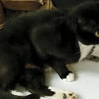 Domestic Mediumhair Cat for adoption in Middletown, Ohio - Pearl