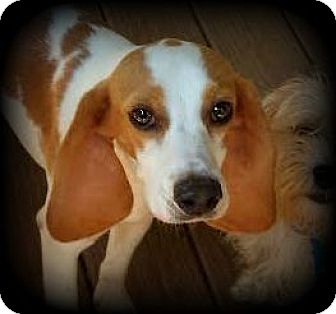 Beagle/Hound (Unknown Type) Mix Dog for adoption in Freeport, Maine - Snickers