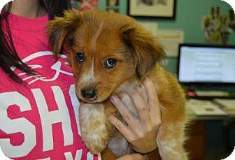 Australian Shepherd/Sheltie, Shetland Sheepdog Mix Dog for adoption in Jersey City, New Jersey - Bernadette Peters