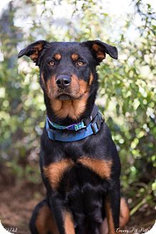Rottweiler Mix Dog for adoption in Beaumont, Texas - Hazel