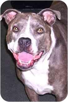 American Pit Bull Terrier Dog for adoption in Corona del Mar, California - Nikki