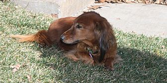 Dachshund Dog for adoption in Louisville, Colorado - Baron2