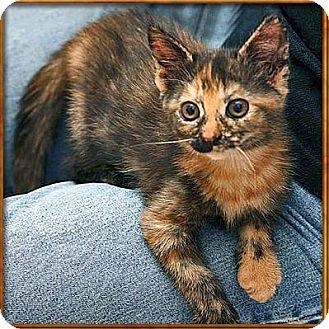 Domestic Mediumhair Kitten for adoption in Wakefield, Massachusetts - Luna