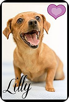 Dachshund/Chihuahua Mix Dog for adoption in Windham, New Hampshire - Lilly and Ginger (Reduced)