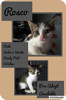 Domestic Mediumhair Kitten for adoption in CLEVELAND, Ohio - Roscoe