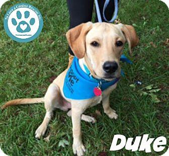 Labrador Retriever Mix Dog for adoption in Kimberton, Pennsylvania - Duke