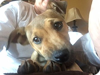 Collie/Beagle Mix Puppy for adoption in Plainfield, Connecticut - Tessa