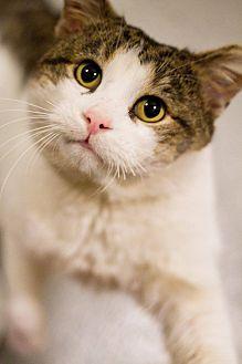 Domestic Shorthair Cat for adoption in Grayslake, Illinois - Demetrius