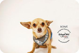 Chihuahua/Miniature Pinscher Mix Dog for adoption in Aqua Dulce, California - Scout