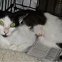Domestic Shorthair Cat for adoption in San Antonio, Texas - Mallory