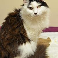 Adopt A Pet :: KitKat  170034 - Atlanta, GA