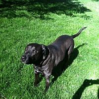 Labrador Retriever Mix Dog for adoption in Upper Arlington, Ohio - Tobbs