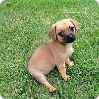 Adopt A Pet :: PUPPY MAIZE - Andover, CT