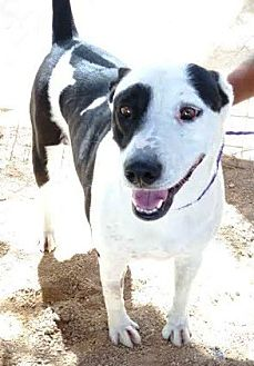 Pit Bull Terrier/Labrador Retriever Mix Dog for adoption in Las Vegas, Nevada - Lacey