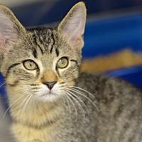 Domestic Shorthair Kitten for adoption in Atlanta, Georgia - Buddy Holly171200