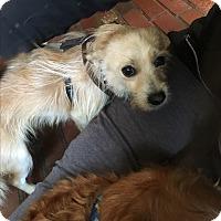 Adopt A Pet :: Sully - Astoria, NY